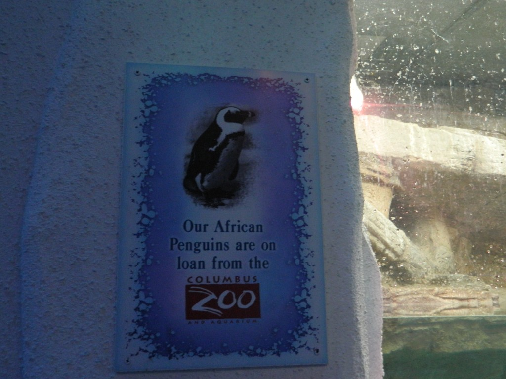 African penguins on loan from the Columbus Zoo.