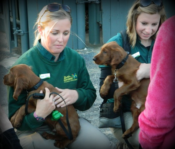 These two brothers are the newest addition to the Busch Gardens team. These Irish setters will eventually be part of the Celtic Fyre show. Aren't they adorable?