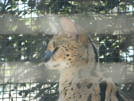 This serval has the most beautiful markings. The attendant told us he can be quite the grumpy cat.