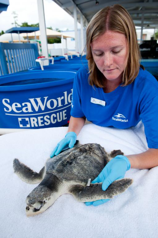 Prepping rescued Gulfport oil spill turtles for release. Photo: SeaWorld Parks