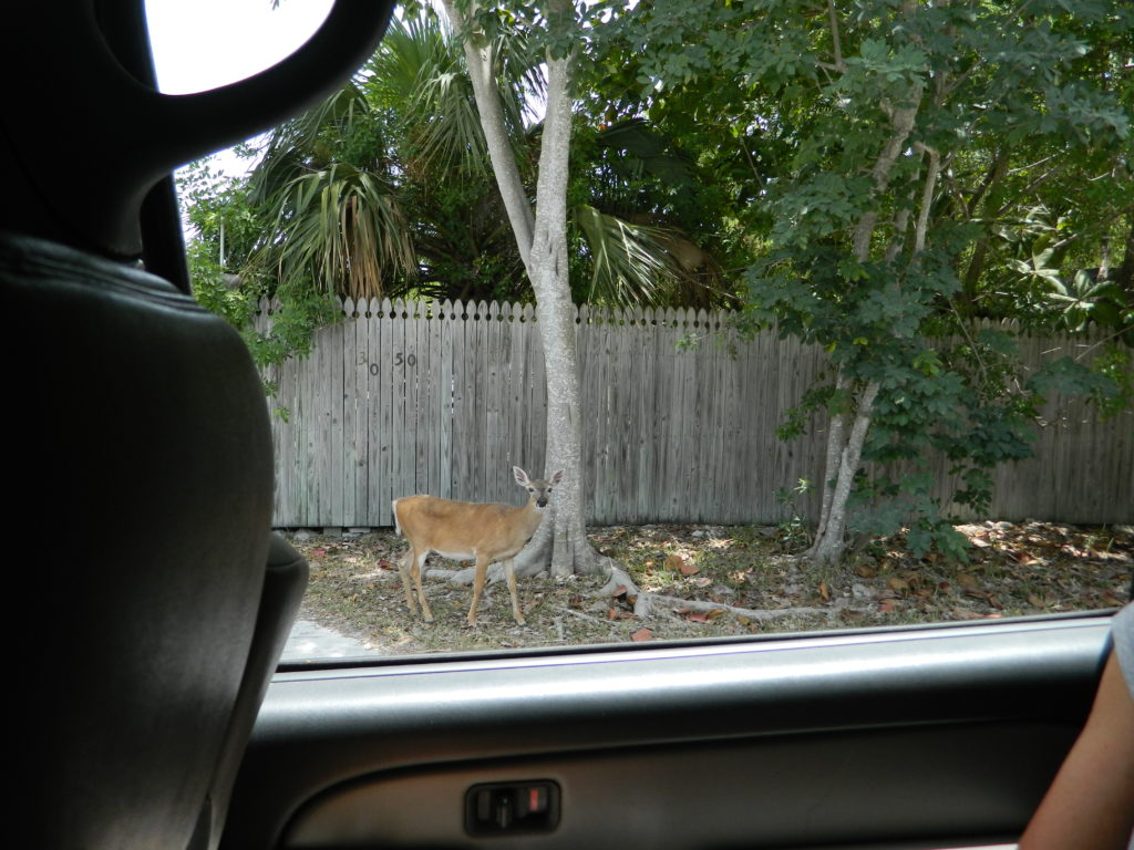 The adorable deer of Big Pine Key.
