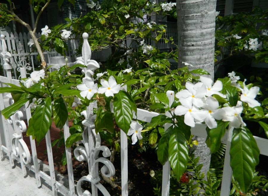 Pretty white flowers and a white iron fence.